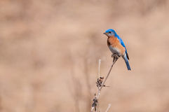 Eastern Bluebird. Perched on a branch stock photo