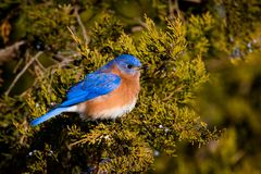 Eastern Bluebird perched on a branch Royalty Free Stock Photo