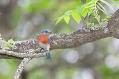 Eastern Bluebird Perched on a Branch. With its head turned to the side, a male eastern bluebird shows off his orange breast while perched on a branch royalty free stock photography
