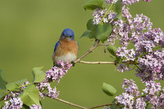 Eastern Bluebird Perched in Lilacs Royalty Free Stock Photo
