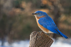 Eastern Bluebird. An Eastern Bluebird perched on a pine stump Royalty Free Stock Photography