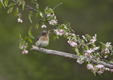 Eastern bluebird perched in pink flowers Royalty Free Stock Image