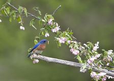 Eastern bluebird perched in pink flowers Royalty Free Stock Photography