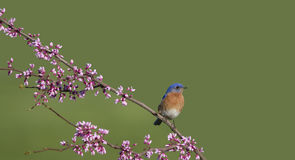 Eastern Bluebird Perched on Redbud Branch Royalty Free Stock Photo