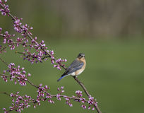 Eastern Bluebird Perched on Redbud Branch Stock Photography