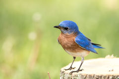 Eastern Bluebird perched on stump Stock Photos