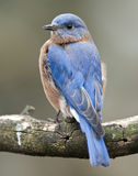 Eastern bluebird portrait Stock Images