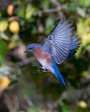 Eastern Bluebird prepares for landing Royalty Free Stock Photography