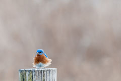 Eastern Bluebird. With ruffled feathers royalty free stock photography
