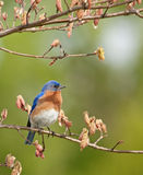 Eastern Bluebird, Sialia sialis. Perched on a tree branch Stock Image