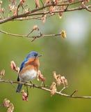 Eastern Bluebird, Sialia sialis Stock Image