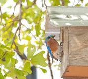 Eastern Bluebird, Sialia sialis. At the nextbox Stock Photo
