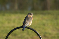 Eastern Bluebird - Sialia sialis. This is an Eastern Bluebird - Sialia sialis that was sitting on my shepherds hook in Morgan County Alabama USA Stock Photos