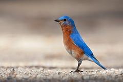 Eastern Bluebird (Sialia sialis) royalty free stock photo