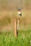 Eastern Bluebird. (Sialia sialis Royalty Free Stock Photography