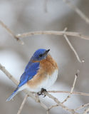 Eastern Bluebird, Sialia sialis. Perched on a tree branch Royalty Free Stock Photography