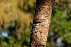 Eastern bluebird Sialia sialis. Perches on a pine tree in Naples, Florida Stock Images