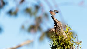 Eastern Bluebird Sialia sialis. Perches in a tree in Naples, Florida Stock Images