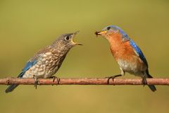 Eastern Bluebird (Sialia sialis) feeding a baby. On a branch with a green background Stock Photo