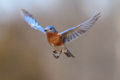 Eastern Bluebird Sialia sialis In Flight. Male Eastern Bluebird Sialia sialis in flight Stock Image