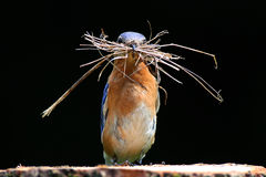 Eastern Bluebird. (Sialia sialis) on a log with nesting material Stock Image