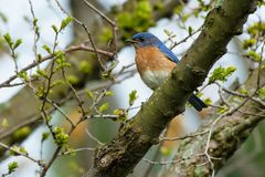 Eastern Bluebird - Sialia sialis. Male Eastern Bluebird perched on a branch. Ashbridges Bay Park, Toronto, Ontario, Canada Royalty Free Stock Photography