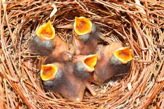 Eastern Bluebird (Sialia sialis) nest. With five babies approximately four days old Royalty Free Stock Photo