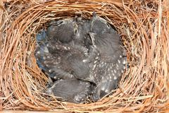 Eastern Bluebird (Sialia sialis) nest. With five babies approximately two weeks old Stock Image