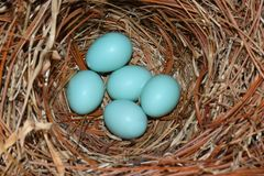 Eastern Bluebird (Sialia sialis) nest. With five blue eggs Royalty Free Stock Image