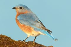 Eastern Bluebird. (Sialia sialis) on a perch with a blue background Royalty Free Stock Photography