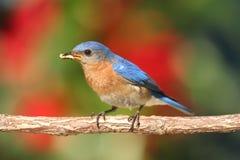Eastern Bluebird Royalty Free Stock Image