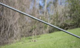 Eastern Bluebird Perched on Wire Royalty Free Stock Images