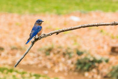 Eastern Bluebird. (sialia sialis) perched on a limb Royalty Free Stock Photography