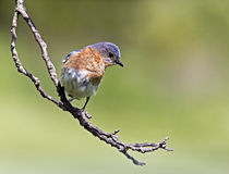 Eastern Bluebird (Sialia sialis). Eastern Bluebird perched on a tree branch hunting for bugs Royalty Free Stock Image