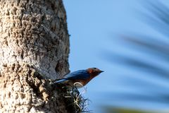 Eastern bluebird Sialia sialis. Perches on a pine tree in Naples, Florida Stock Photo