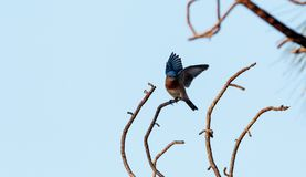 Eastern bluebird Sialia sialis perches on a pine tree. In Naples, Florida Stock Images
