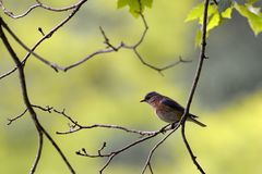 An Eastern Bluebird perches on a tree branch in Southwest Virginia royalty free stock images