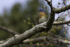 Eastern Bluebird (sialia sialis). Eastern Bluebird sitting in a tree on a sunny spring day Royalty Free Stock Photography