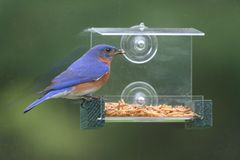 Eastern Bluebird Sialia sialis. On a window feeder Royalty Free Stock Photo