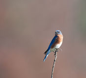 Eastern bluebird sitting on post Royalty Free Stock Images