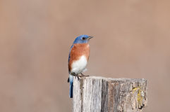 Eastern bluebird sitting on post Royalty Free Stock Photos