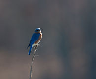 Eastern bluebird sitting on post Stock Photography