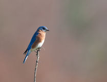 Eastern bluebird sitting on post Stock Image