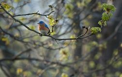 Eastern bluebird in Spring on tree limb Stock Image