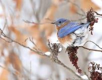 Eastern Bluebird. In sumac in winter royalty free stock photo
