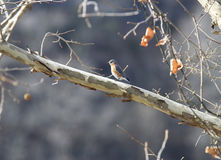 Eastern Bluebird on Sycamore branch Royalty Free Stock Images