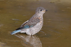 Eastern Bluebird. Taking a bath Stock Photography