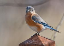 An Eastern Bluebird watching. Royalty Free Stock Photography