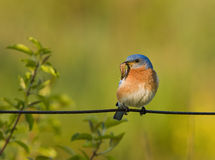 Eastern Bluebird with a worm for food Stock Photos