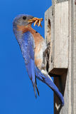 Eastern Bluebirdon a Nestbox Royalty Free Stock Photography